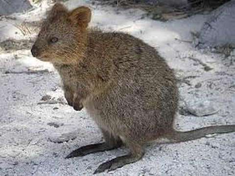 The Quokka - look, don't touch